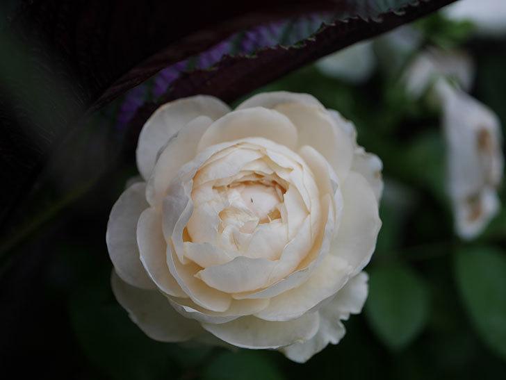 ウィンダミア(Windermere)の2番花がまた咲いた。半ツルバラ。2020年-006.jpg