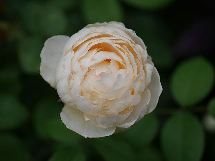 ウィンダミア(Windermere)の2番花がまた咲いた。半ツルバラ。2020年-007.jpg