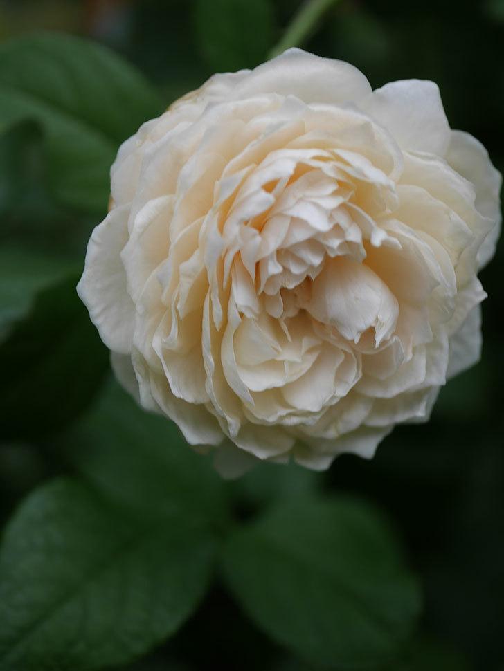 ウィンダミア(Windermere)の2番花がまた咲いた。半ツルバラ。2020年-008.jpg