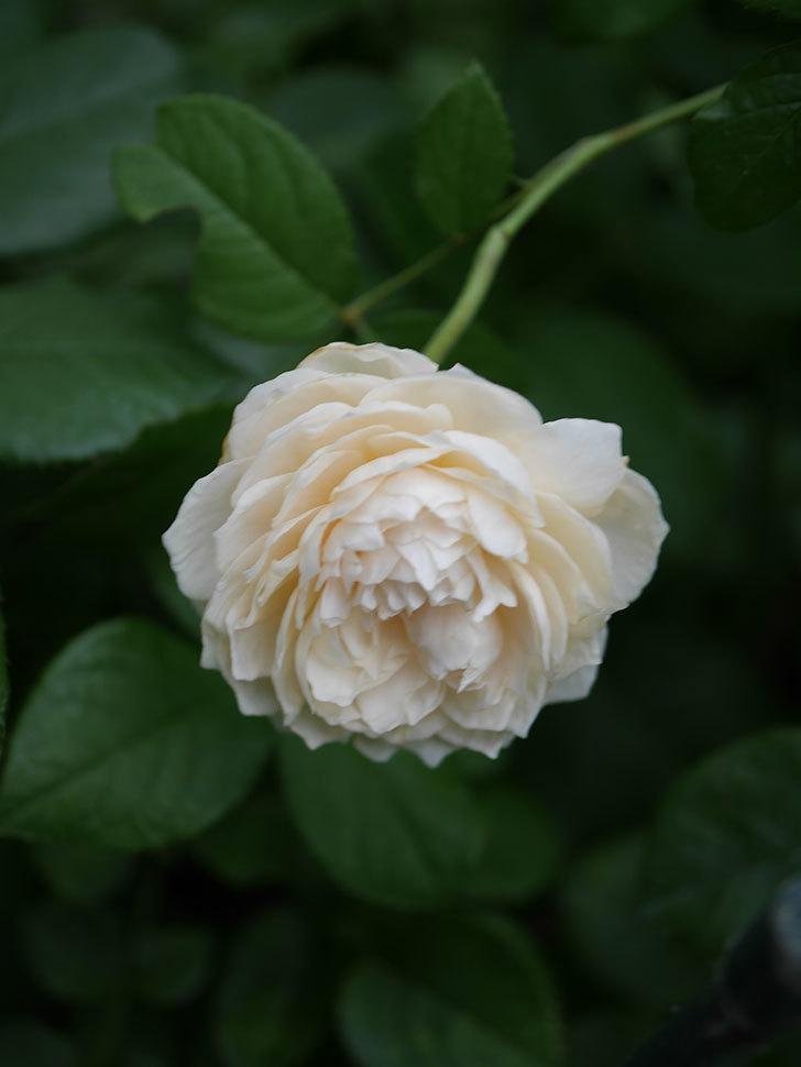 ウィンダミア(Windermere)の2番花がまた咲いた。半ツルバラ。2020年-009.jpg