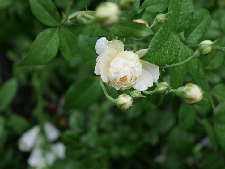 ウィンダミア(Windermere)の2番花がまた咲いた。半ツルバラ。2020年-010.jpg
