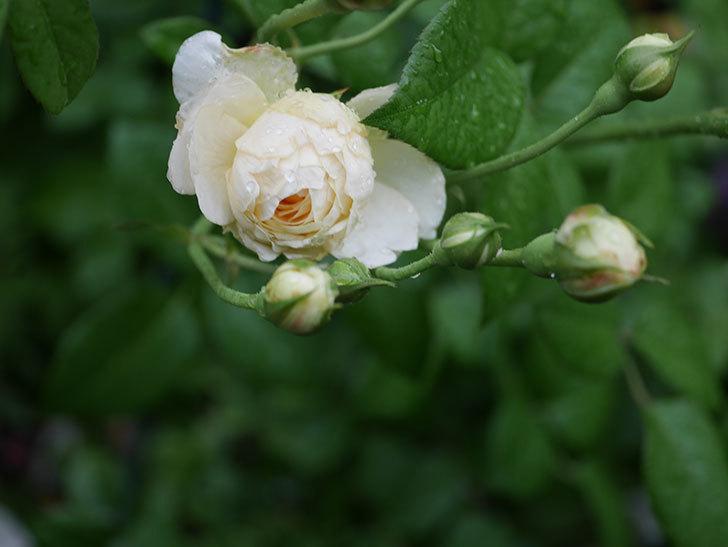 ウィンダミア(Windermere)の2番花がまた咲いた。半ツルバラ。2020年-011.jpg
