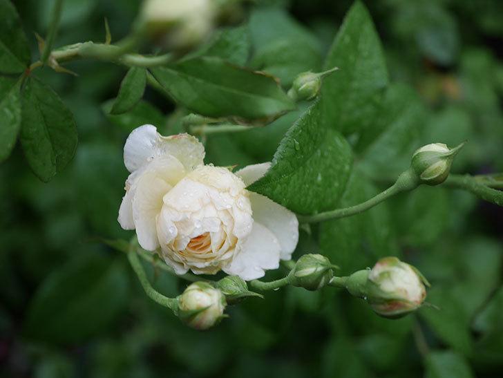 ウィンダミア(Windermere)の2番花がまた咲いた。半ツルバラ。2020年-012.jpg
