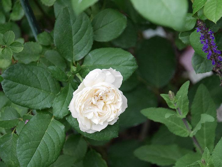 ウィンダミア(Windermere)の2番花が咲いた。半ツルバラ。2020年-001.jpg