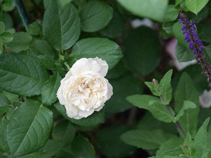 ウィンダミア(Windermere)の2番花が咲いた。半ツルバラ。2020年-002.jpg