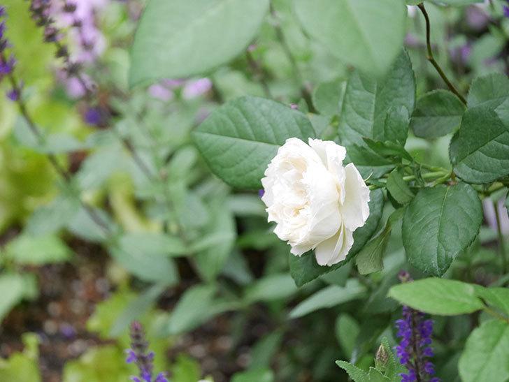 ウィンダミア(Windermere)の2番花が咲いた。半ツルバラ。2020年-003.jpg
