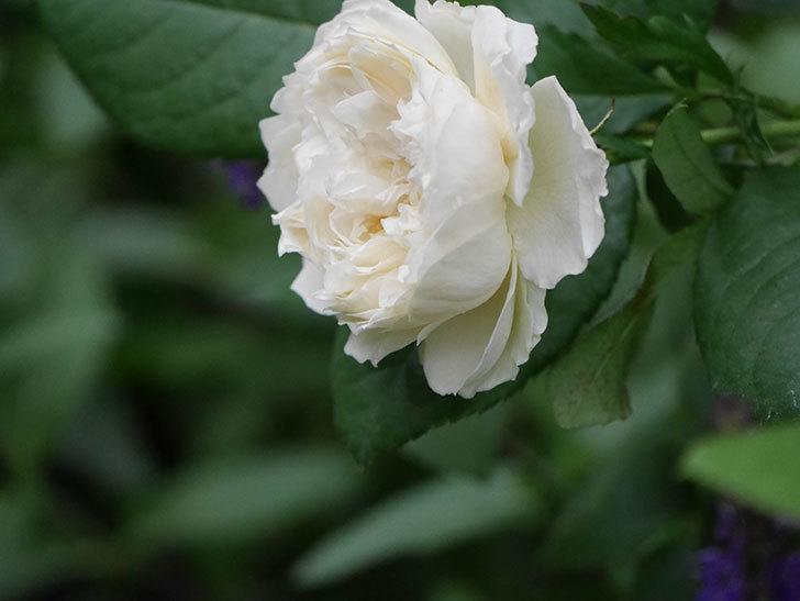 ウィンダミア(Windermere)の2番花が咲いた。半ツルバラ。2020年-004.jpg