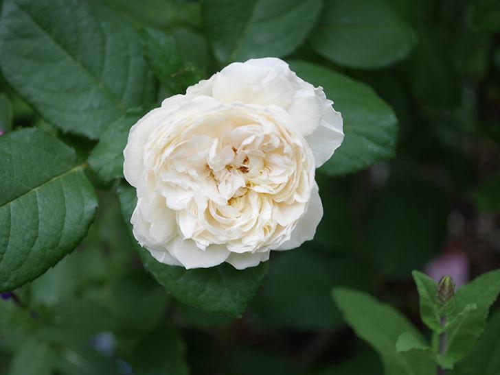 ウィンダミア(Windermere)の2番花が咲いた。半ツルバラ。2020年-007.jpg
