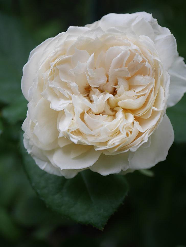 ウィンダミア(Windermere)の2番花が咲いた。半ツルバラ。2020年-008.jpg