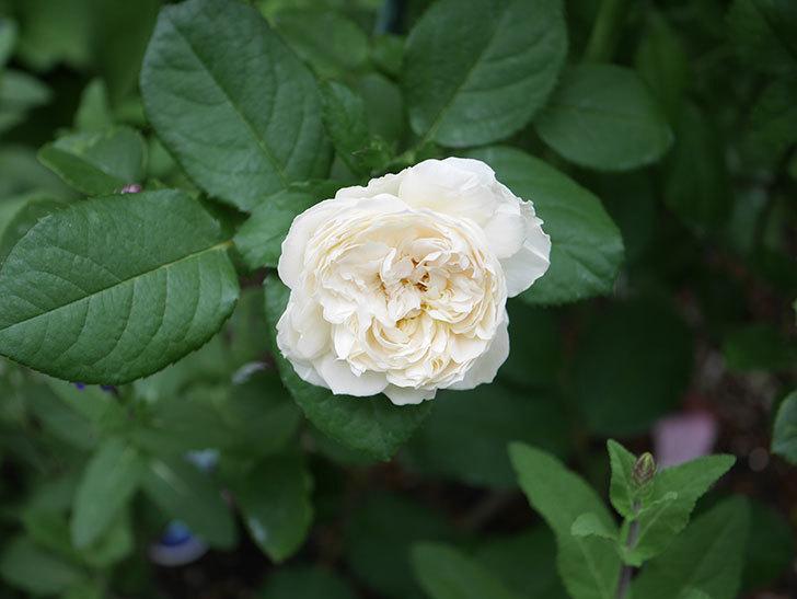 ウィンダミア(Windermere)の2番花が咲いた。半ツルバラ。2020年-009.jpg