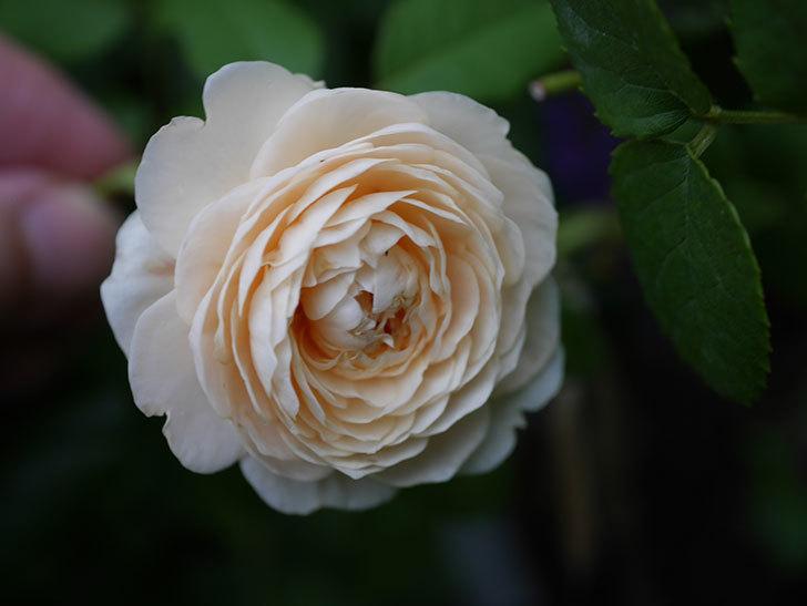 ウィンダミア(Windermere)の2番花が増えてきた。半ツルバラ。2020年-003.jpg