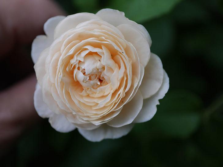 ウィンダミア(Windermere)の2番花が増えてきた。半ツルバラ。2020年-004.jpg