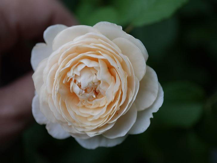ウィンダミア(Windermere)の2番花が増えてきた。半ツルバラ。2020年-005.jpg