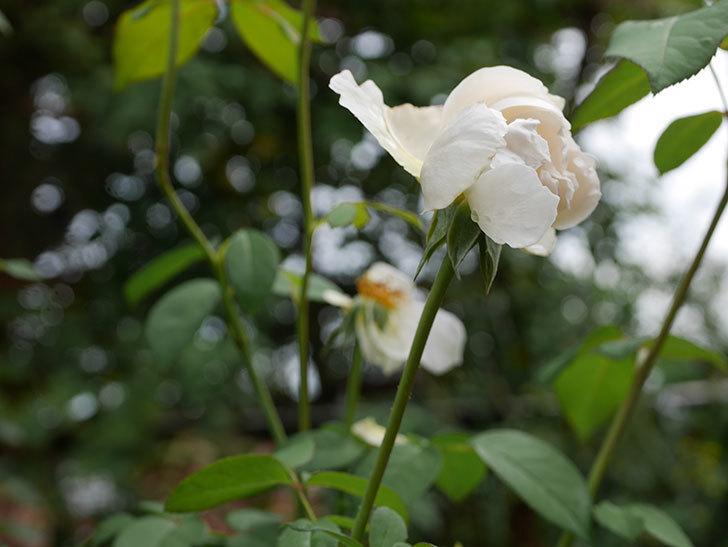 ウィンダミア(Windermere)の秋花がまた咲いた。半ツルバラ。2020年-002.jpg