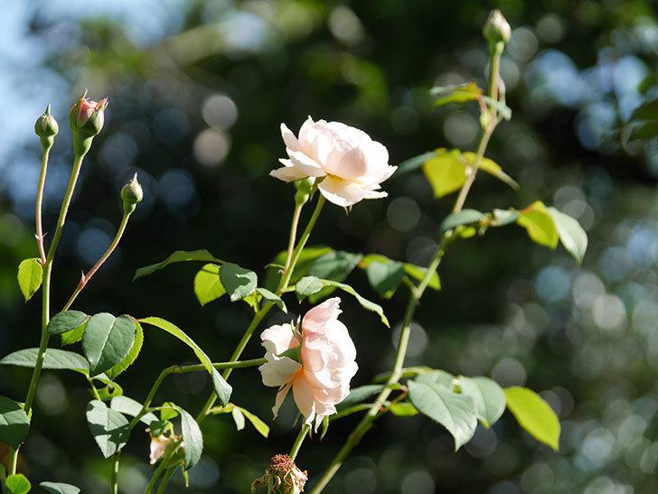 ウィンダミア(Windermere)の秋花がまた咲いた。半ツルバラ。2020年-003.jpg