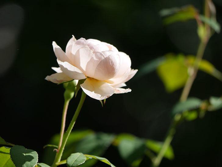 ウィンダミア(Windermere)の秋花がまた咲いた。半ツルバラ。2020年-004.jpg