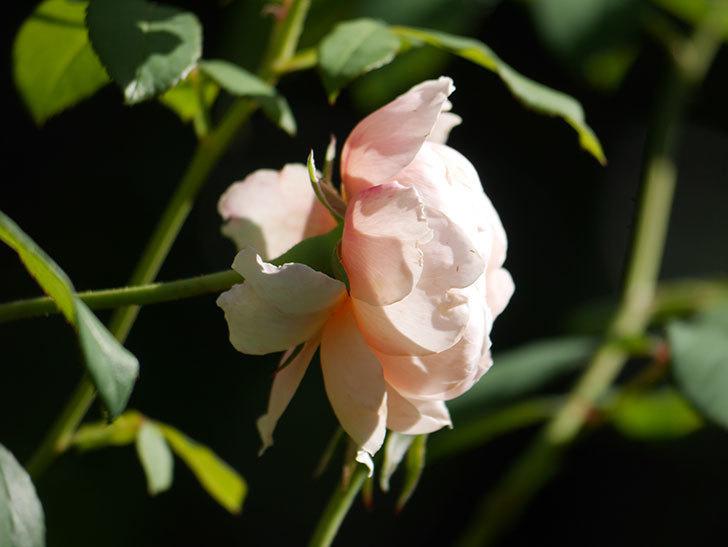 ウィンダミア(Windermere)の秋花がまた咲いた。半ツルバラ。2020年-008.jpg