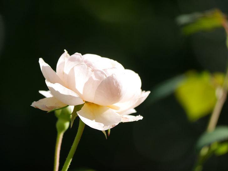 ウィンダミア(Windermere)の秋花がまた咲いた。半ツルバラ。2020年-009.jpg