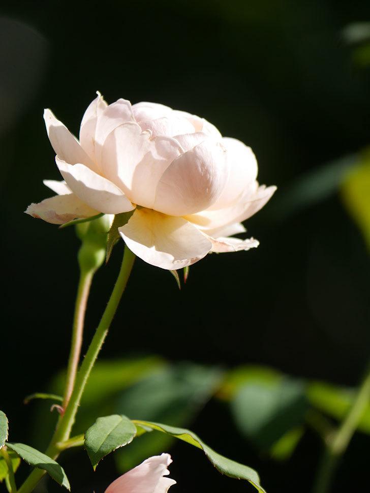 ウィンダミア(Windermere)の秋花がまた咲いた。半ツルバラ。2020年-010.jpg