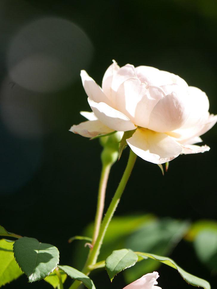 ウィンダミア(Windermere)の秋花がまた咲いた。半ツルバラ。2020年-011.jpg