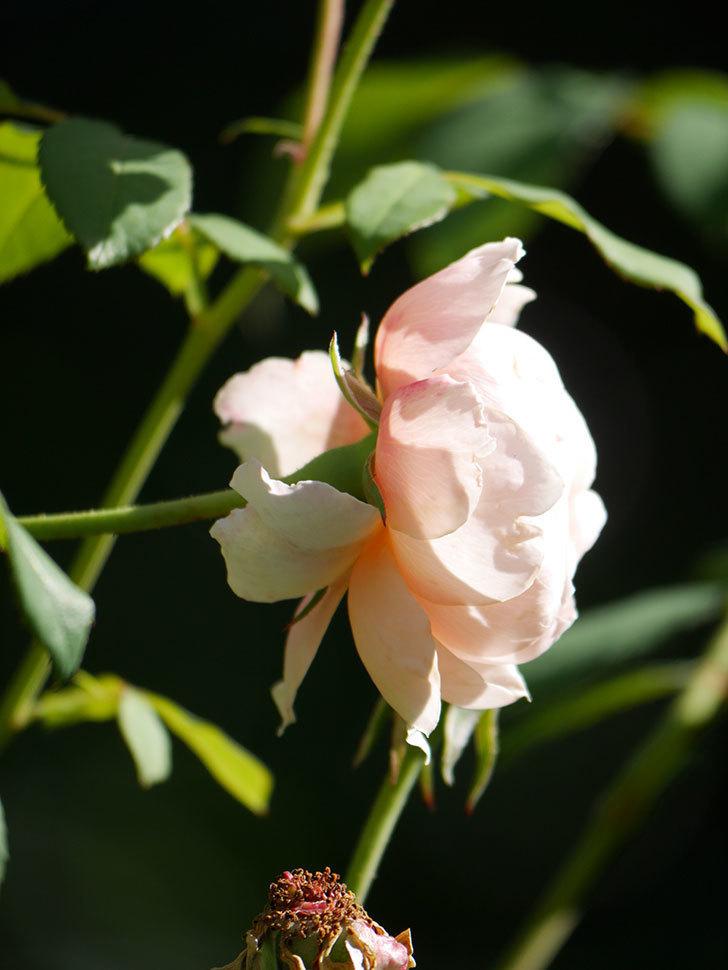 ウィンダミア(Windermere)の秋花がまた咲いた。半ツルバラ。2020年-012.jpg