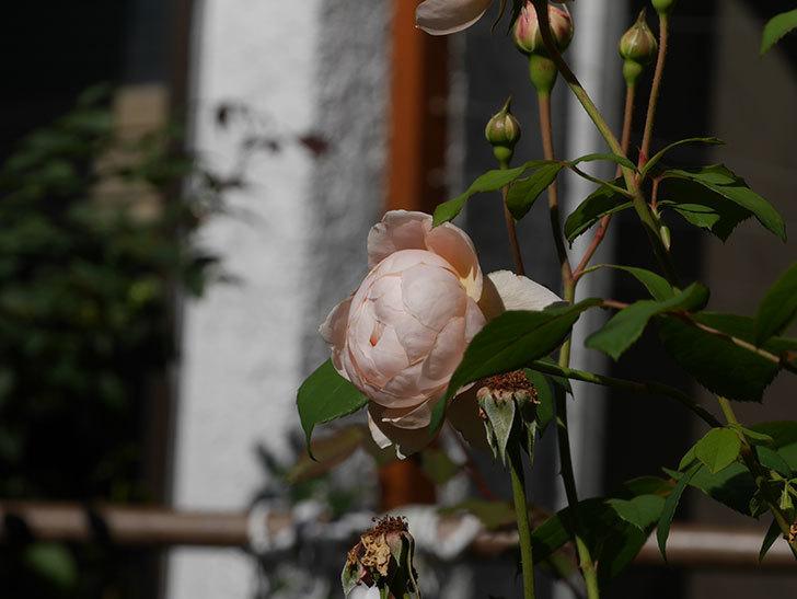 ウィンダミア(Windermere)の秋花がまた咲いた。半ツルバラ。2020年-013.jpg
