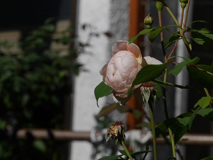 ウィンダミア(Windermere)の秋花がまた咲いた。半ツルバラ。2020年-014.jpg