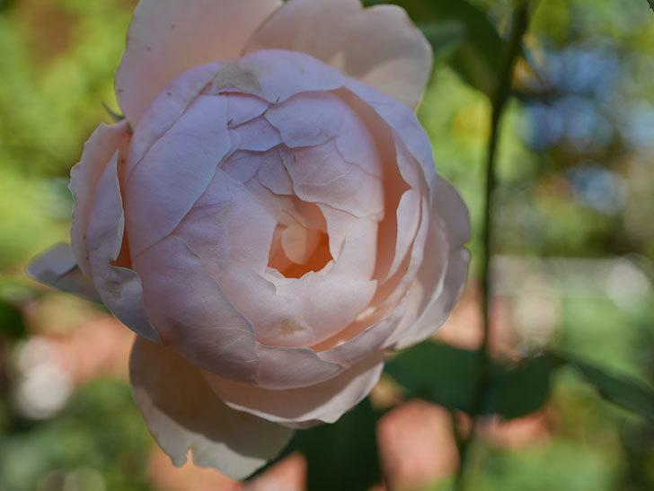 ウィンダミア(Windermere)の秋花がまた咲いた。半ツルバラ。2020年-016.jpg