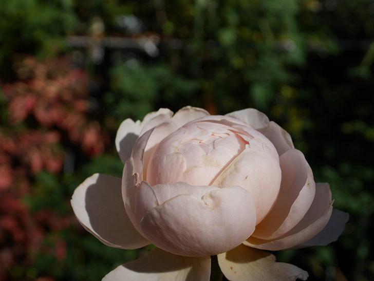 ウィンダミア(Windermere)の秋花がまた咲いた。半ツルバラ。2020年-019.jpg
