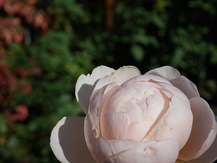 ウィンダミア(Windermere)の秋花がまた咲いた。半ツルバラ。2020年-020.jpg