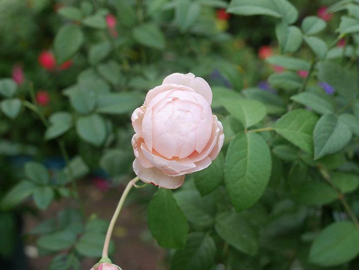 ウィンダミア(Windermere)の秋花がピンクになってきた。半ツルバラ。2020年-001.jpg