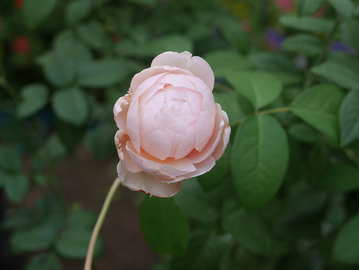 ウィンダミア(Windermere)の秋花がピンクになってきた。半ツルバラ。2020年-002.jpg