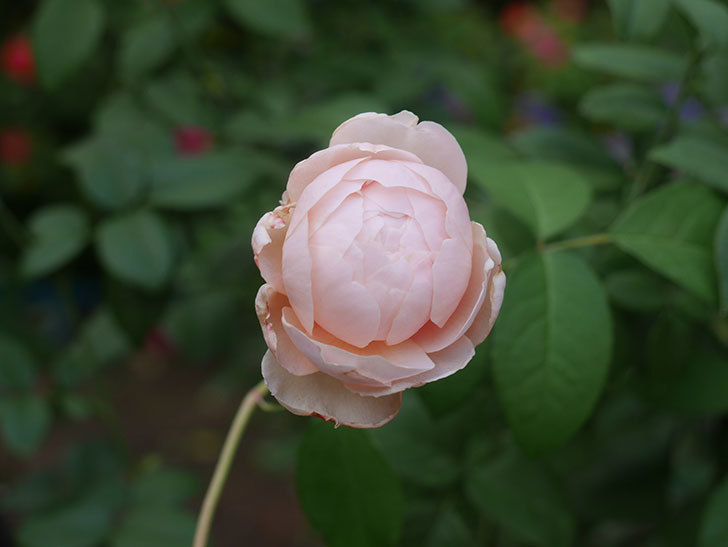 ウィンダミア(Windermere)の秋花がピンクになってきた。半ツルバラ。2020年-003.jpg
