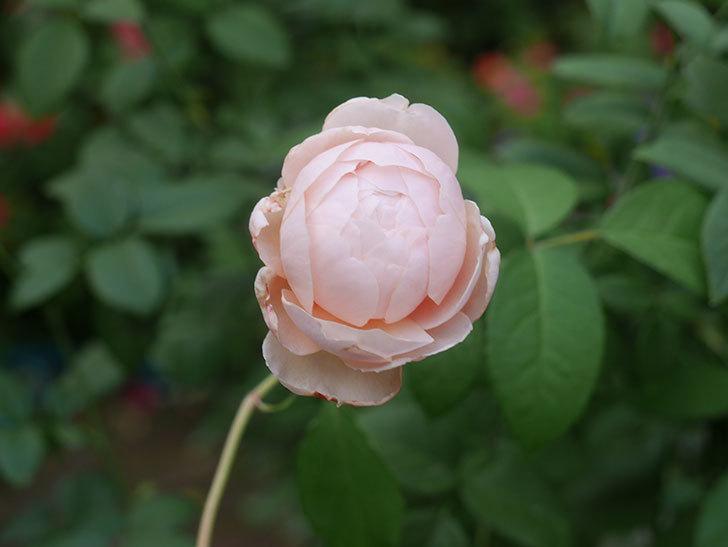 ウィンダミア(Windermere)の秋花がピンクになってきた。半ツルバラ。2020年-004.jpg