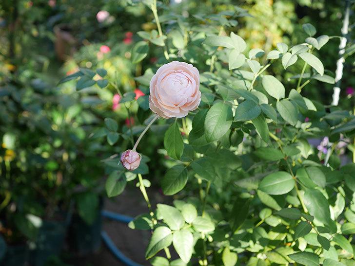 ウィンダミア(Windermere)の秋花がピンクになってきた。半ツルバラ。2020年-006.jpg