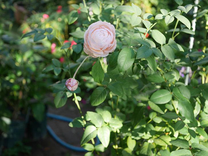 ウィンダミア(Windermere)の秋花がピンクになってきた。半ツルバラ。2020年-007.jpg