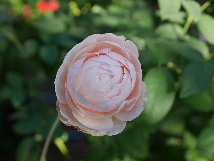 ウィンダミア(Windermere)の秋花がピンクになってきた。半ツルバラ。2020年-008.jpg