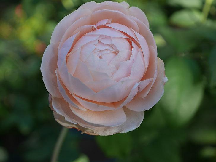 ウィンダミア(Windermere)の秋花がピンクになってきた。半ツルバラ。2020年-010.jpg
