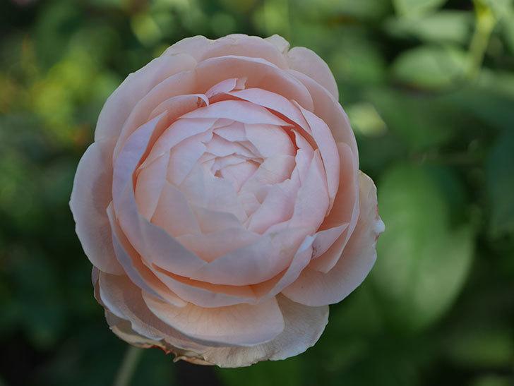 ウィンダミア(Windermere)の秋花がピンクになってきた。半ツルバラ。2020年-011.jpg