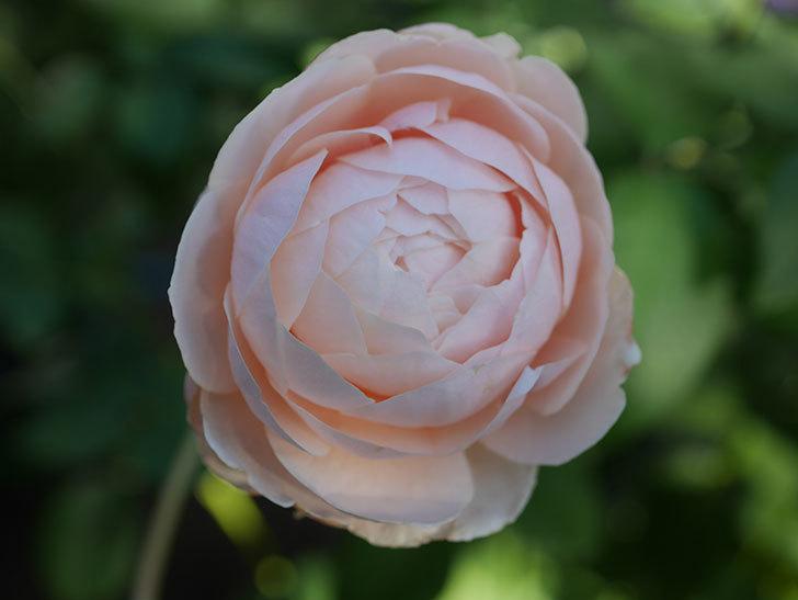 ウィンダミア(Windermere)の秋花がピンクになってきた。半ツルバラ。2020年-012.jpg