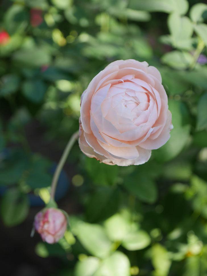 ウィンダミア(Windermere)の秋花がピンクになってきた。半ツルバラ。2020年-013.jpg