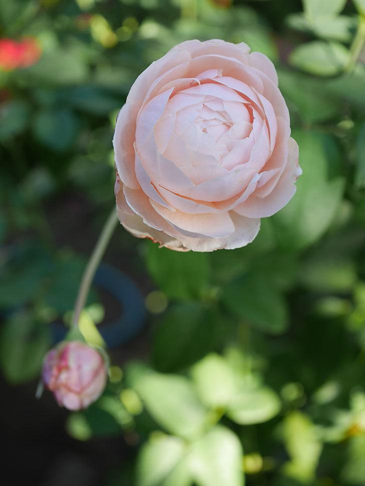 ウィンダミア(Windermere)の秋花がピンクになってきた。半ツルバラ。2020年-014.jpg