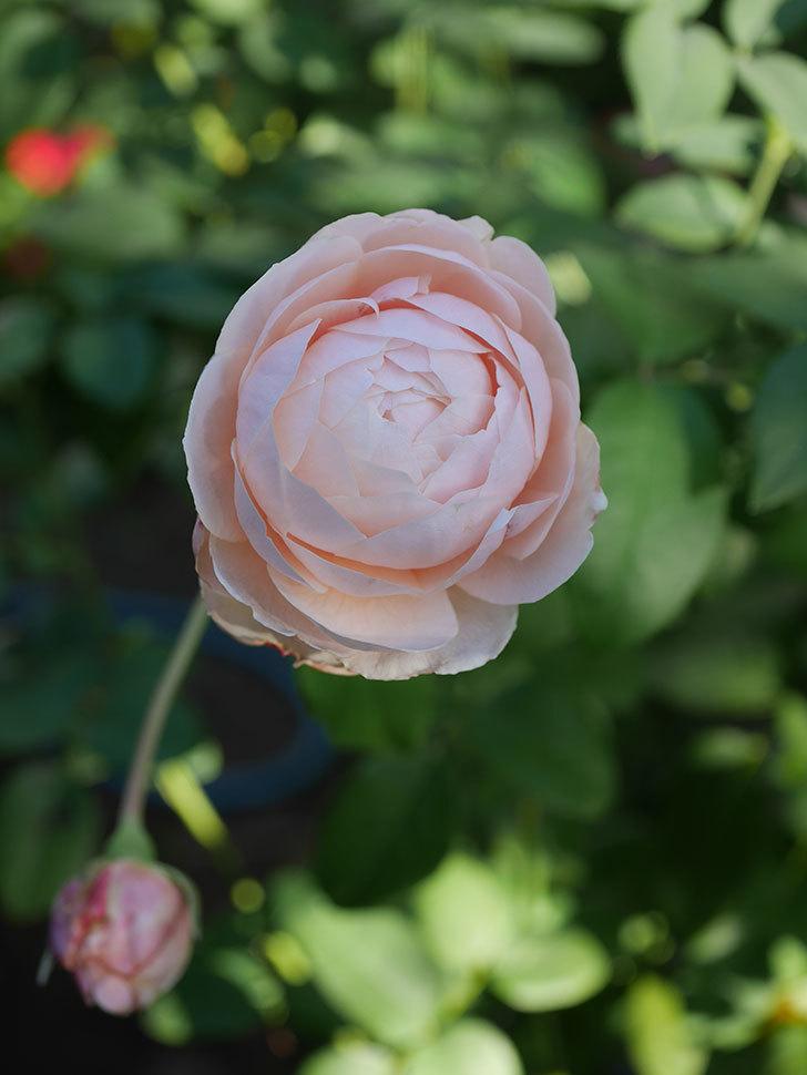 ウィンダミア(Windermere)の秋花がピンクになってきた。半ツルバラ。2020年-015.jpg