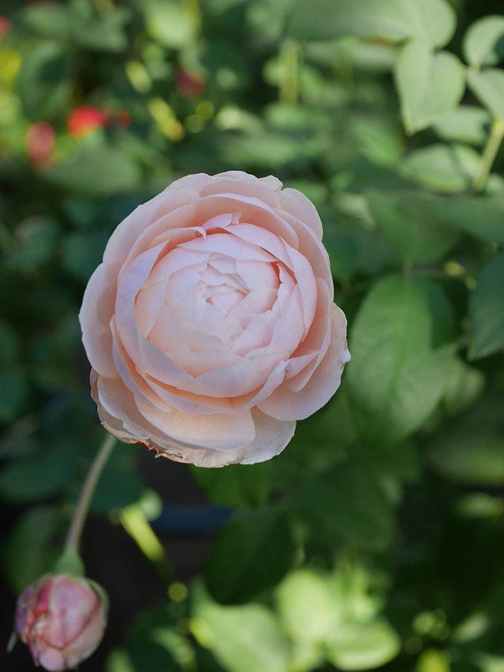ウィンダミア(Windermere)の秋花がピンクになってきた。半ツルバラ。2020年-016.jpg