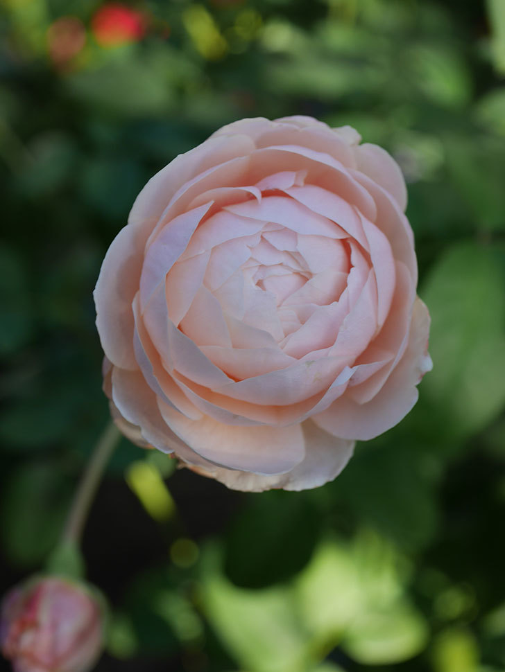ウィンダミア(Windermere)の秋花がピンクになってきた。半ツルバラ。2020年-017.jpg