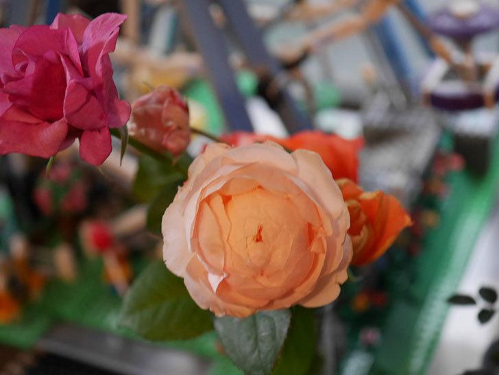 ウィンダミア(Windermere)の秋花がピンクになってきた。半ツルバラ。2020年-020.jpg