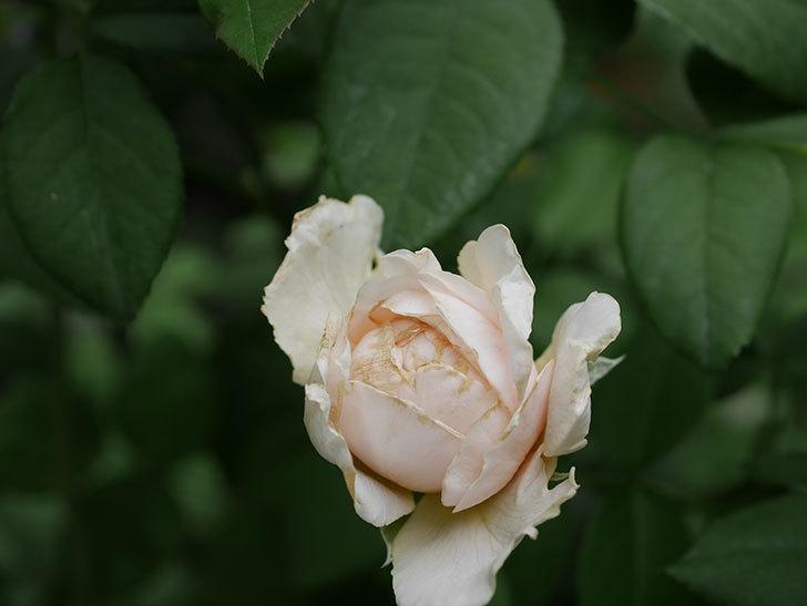 ウィンダミア(Windermere)の秋花が咲いた。半ツルバラ。2020年-002.jpg