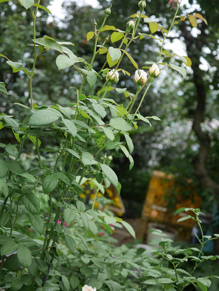 ウィンダミア(Windermere)の秋花が咲いた。半ツルバラ。2020年-009.jpg