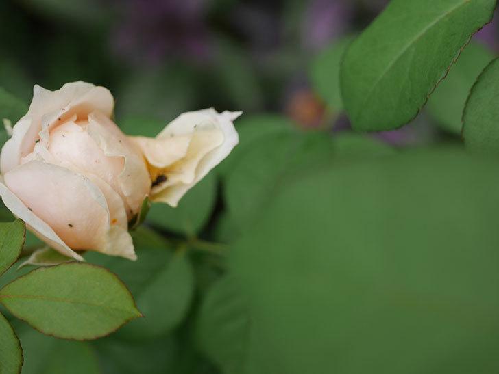 ウィンダミア(Windermere)の秋花が咲いた。半ツルバラ。2020年-021.jpg