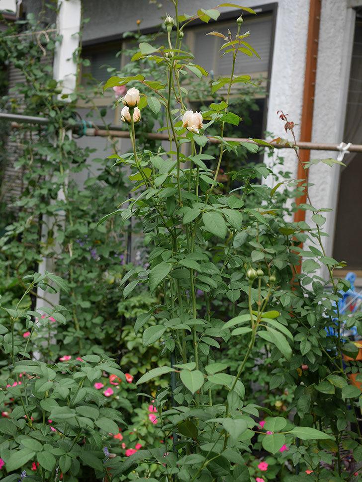 ウィンダミア(Windermere)の秋花が咲いた。半ツルバラ。2020年-023.jpg